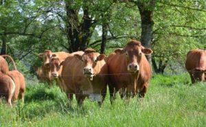 Brangiai visoje Lietuvoje superkame galvijus: karves, jaučius, telyčias